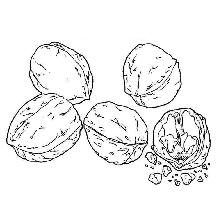 Comment dessiner une noix - Dessin guenon ...
