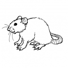rat Coloriage